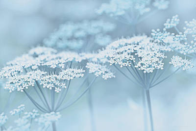 Photograph - Dainty White Flowers Blue by Jennie Marie Schell
