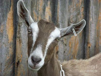 Photograph - Dairy Goat by Bonnie Sue Rauch