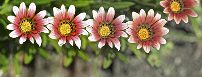 Photograph - Daises In Sequence Panorama Format by SC Heffner