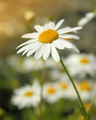 Daisies ... Again - Original Print by Variance Collections
