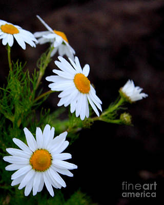 Photograph - Daisies by A K Dayton