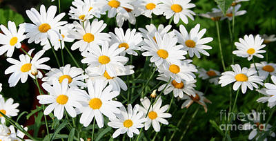 Photograph - Daisies by LR Photography