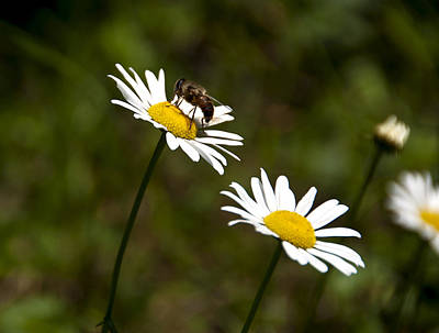 Photograph - Daisies And A Bee by Celso Bressan