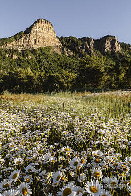Photograph - Daisies And Mountains by Dennis Hedberg
