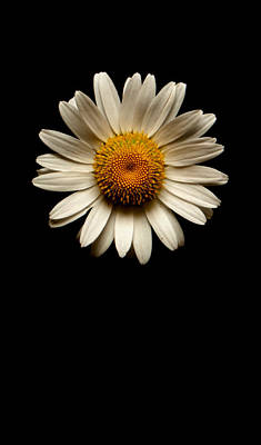 Photograph - Daisies Are Not Flowers No Text by Weston Westmoreland