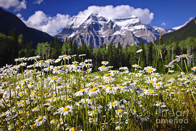Daisies At Mount Robson Print by Elena Elisseeva
