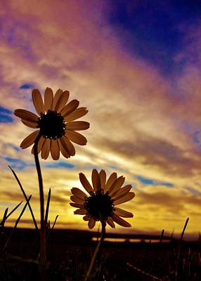 Photograph - Daisies At Sundown  by Sarah Pemberton