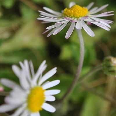 Daisies Photograph - #daisies by George Gaijin