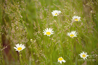 Photograph - Daisies In The Meadow by Kay Pickens