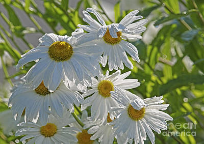 Photograph - Daisies In The Sun 2 by Sharon Talson