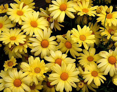 Photograph - Daisies by John Bushnell