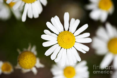 Photograph - Daisies by Juli Scalzi