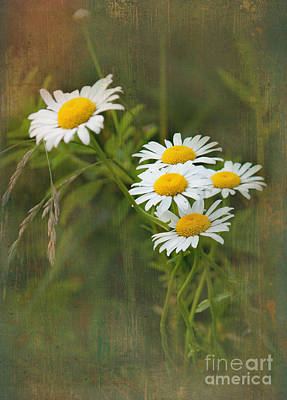 Photograph - Daisies by Lena Auxier