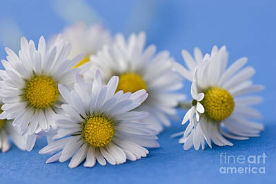 Daisy Photograph - Daisies On Blue by Jan Bickerton