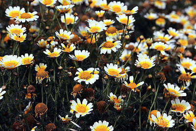Photograph - Daisies On Delos by John Rizzuto