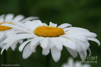 Photograph - Daisies On The Green by Susan Herber