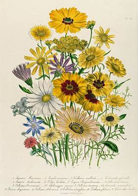 Aster Drawing - Daisies by Jane Loudon