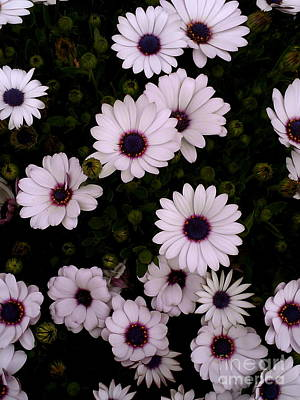 Photograph - Daisies by Sherri Williams