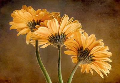 Photograph - Daisies Three by David and Carol Kelly