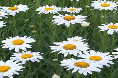 Photograph - Daisies by Tracey Harrington-Simpson