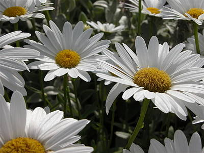 Valerie Paterson Wall Art - Photograph - Daisies by Valerie Paterson