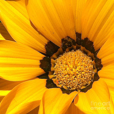 Sunburst Floral Still Life Photograph - Daisy 1-1 by Ann Pelaez