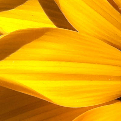 Sunburst Floral Still Life Photograph - Daisy 1-2 by Ann Pelaez