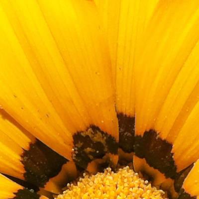 Sunburst Floral Still Life Photograph - Daisy 1-4 by Ann Pelaez