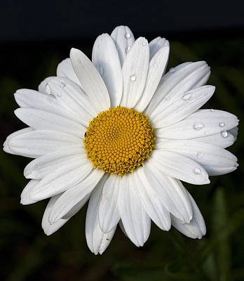 Photograph - Daisy-1 by Charles Hite