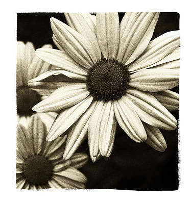 Photograph - Daisy 1 by Tanya Jacobson-Smith