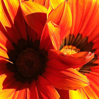 Sunburst Floral Still Life Photograph - Daisy 3-1 by Ann Pelaez