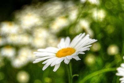 Photograph - Daisy  by Amber Summerow