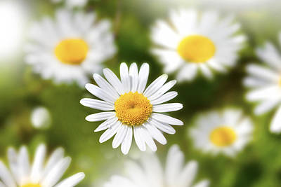 Daisy Among Daises Art Print by Martin Joyful
