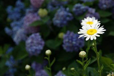 Daisy Among Hydrangeas Art Print by Leigh Ann Hartsfield