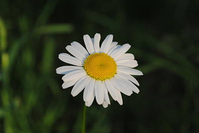 Photograph - Daisy At Sunset by Robert  Moss