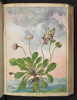 Daisy (bellis Perennis) Art Print by British Library