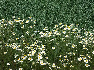 Photograph - Daisy Border by Gene Cyr