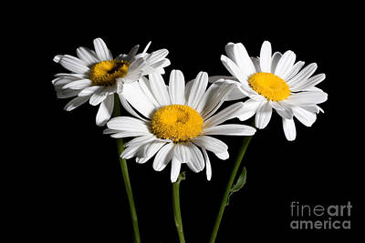 Photograph - Daisy Bouquet by Cindy Singleton