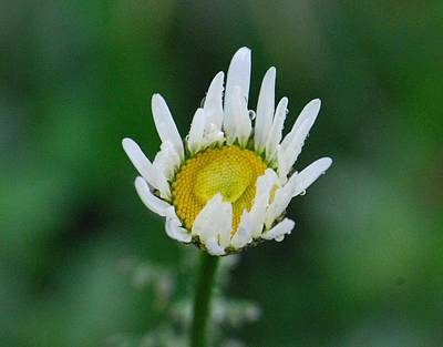 Photograph - Daisy Bud After The Rain by Amy Porter