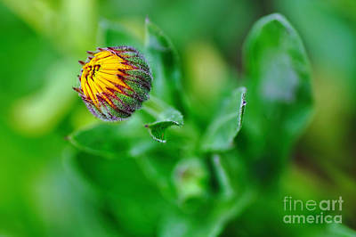 Daisy Bud Ready To Bloom Art Print by Kaye Menner