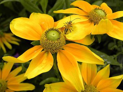 Daisy Bug Art Print by Julie Fields