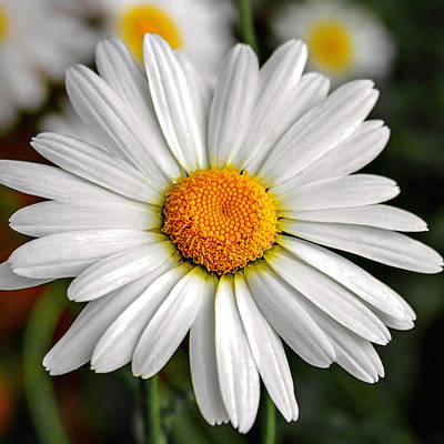 Photograph - Daisy by CarolLMiller Photography