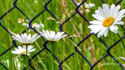 Photograph - Daisy Chain by Susan Garren