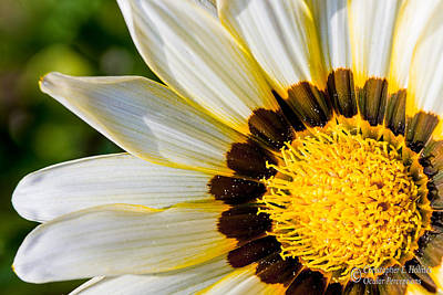 Photograph - Daisy by Christopher Holmes