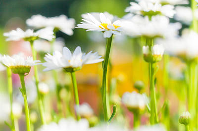 Photograph - Daisy Daisy by Anthony Rego