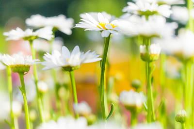 Photograph - Daisy Daisy by Anthony Rego
