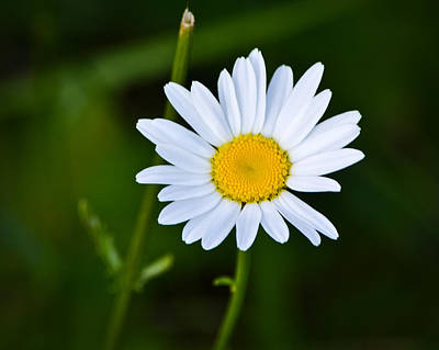 Marykzeman Photograph - Daisy Daisy by Mary Zeman