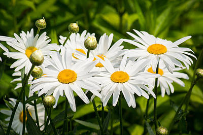 Photograph - Daisy Delight by Bill Pevlor