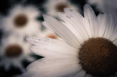Photograph - Daisy Don't Doubt Does He Love Me Does He Love Me Not by Jen Baptist