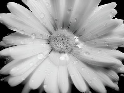 Daisy Flower Raindrops Monochrome Art Print